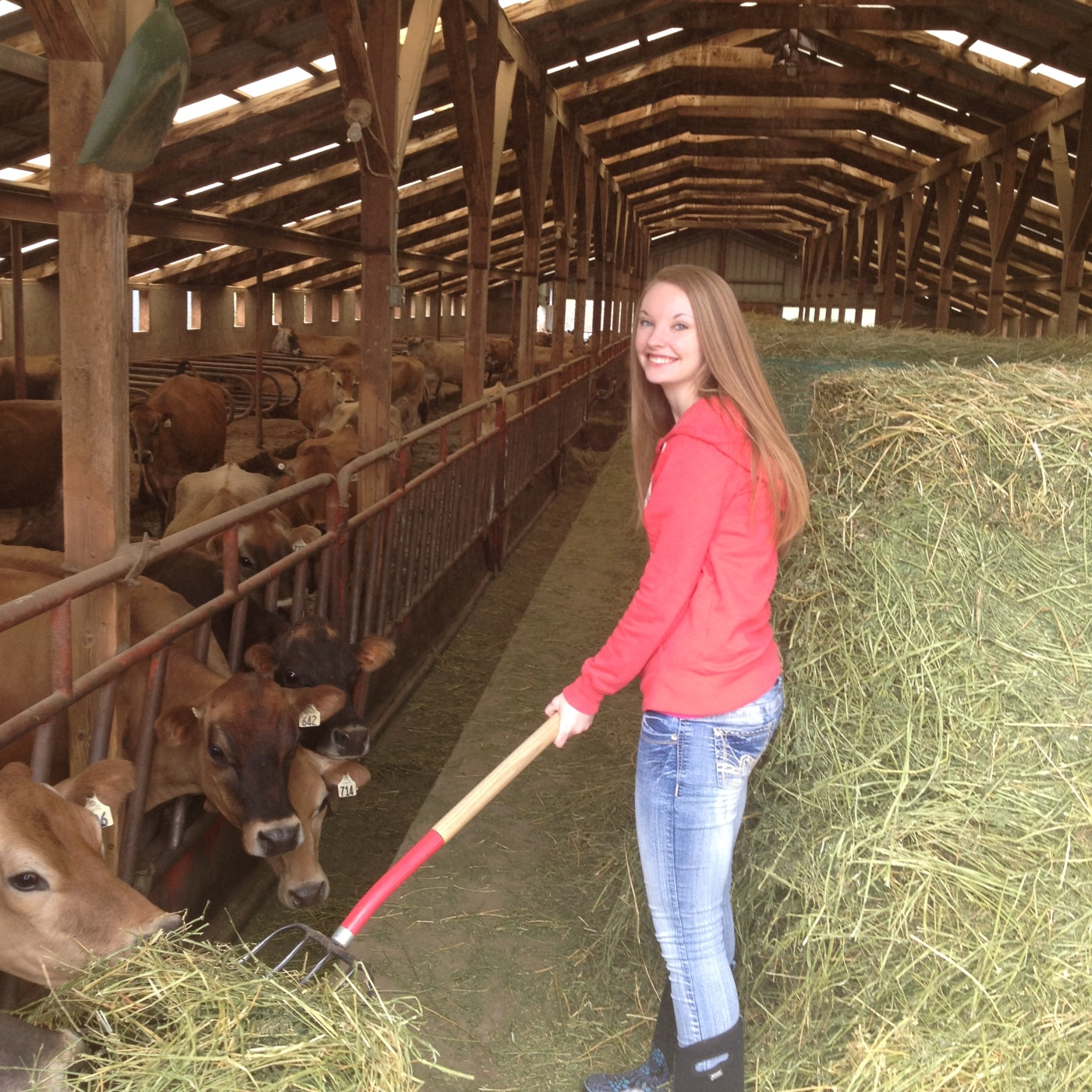 girl feeds cows hay